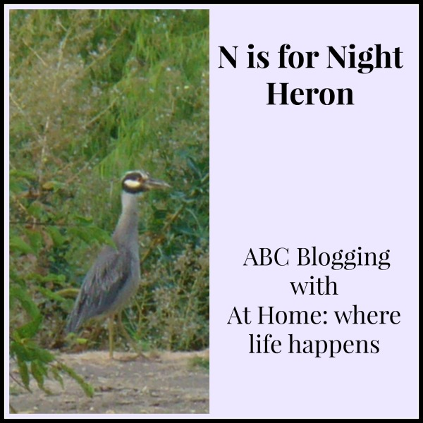 N is for Night Heron