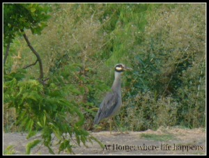 N night heron adult
