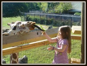 Z feeding giraffes J