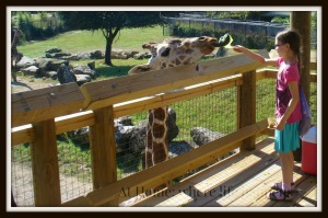 Z feeding giraffes L