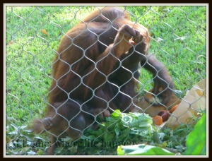 Z orangutan baby and mom