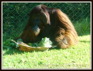 Z orangutan eating