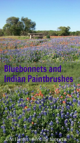 bluebonnets & indian paintbrushes